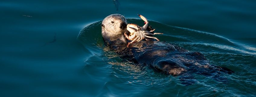 sea otter and crabby
